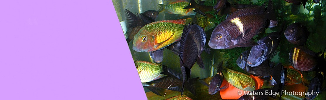 Rift Lake Cichlids